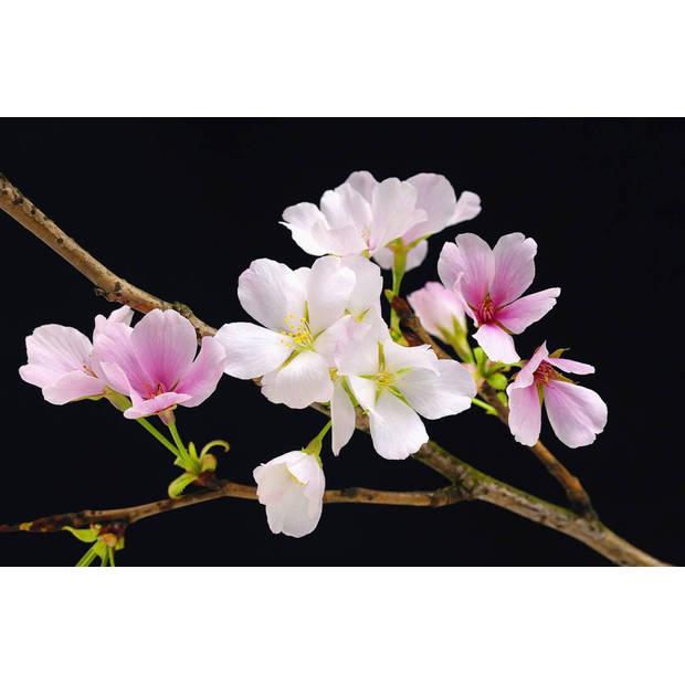 - Cherry Blossoms - Poster XXL - 175 x 115 cm - Multi