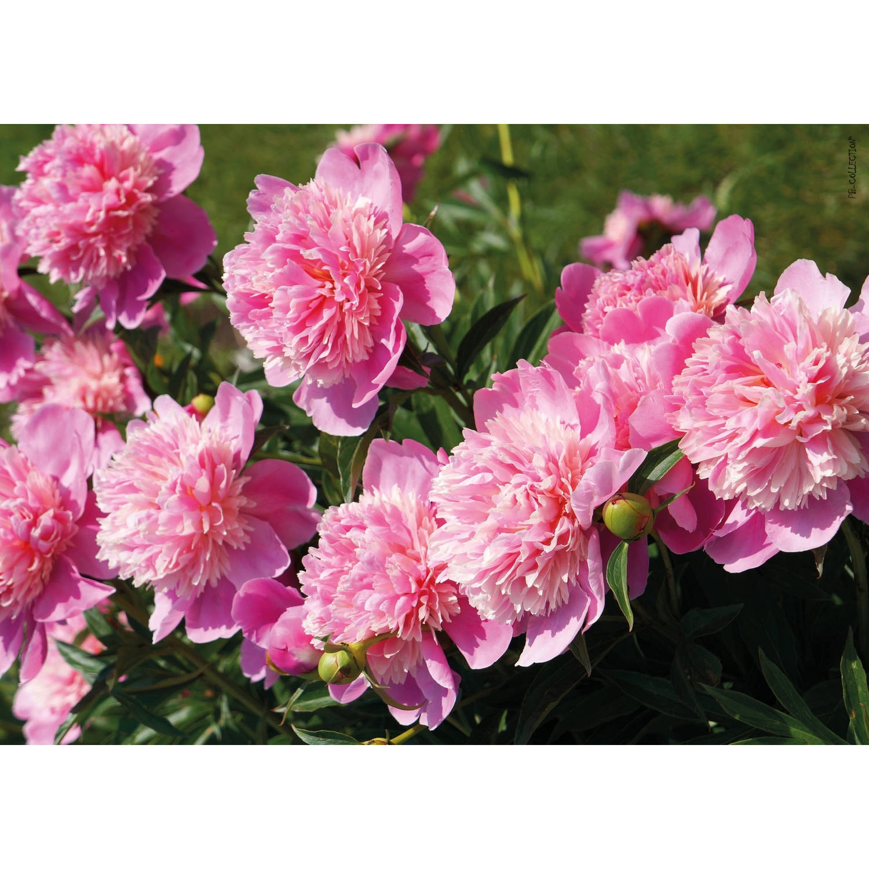 Tuinschilderij Peony Light Rose 70x130cm