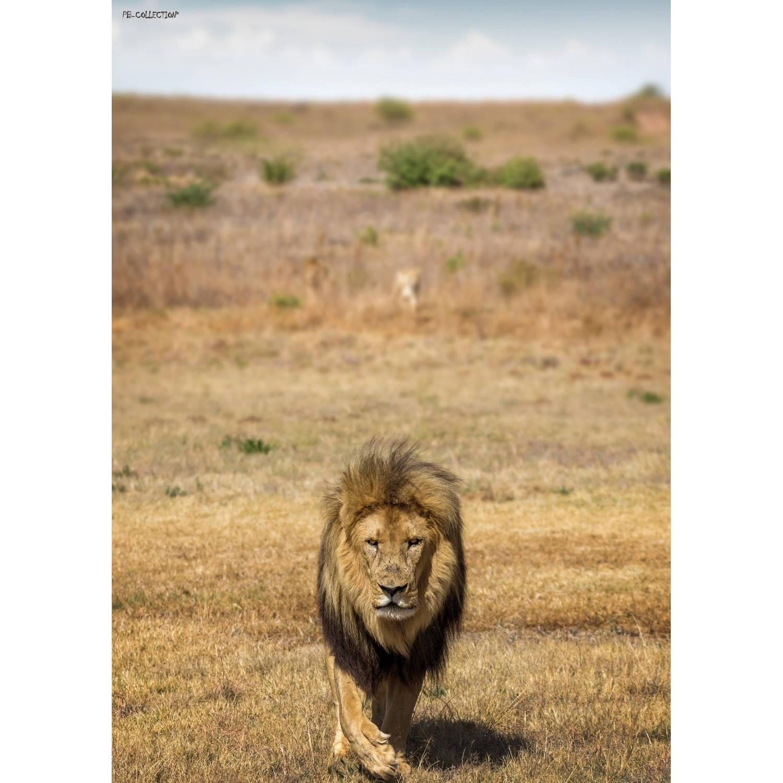 Tuinschilderij Africa Wild Lion 70x130cm