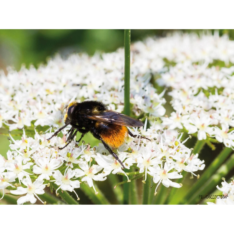 Tuinschilderij Parsly Bee 70x130cm PB-Collection