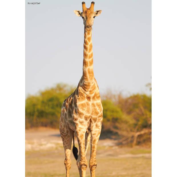 Tuinschilderij Africa Wild-Giraffe 70x130cm