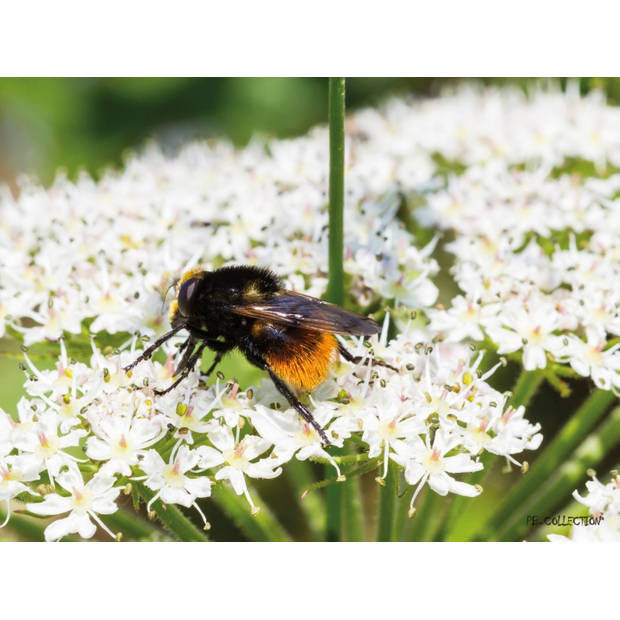 Tuinschilderij Parsly Bee 70x130cm