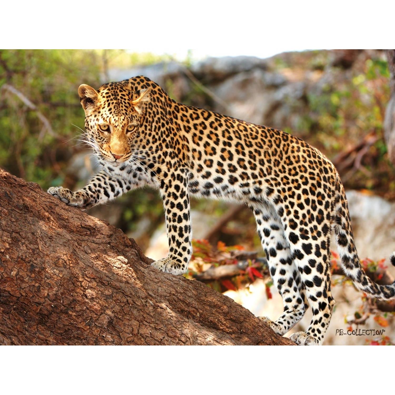 2 Stuks Tuinschilderij Africa Wild Cheetah 50x70cm