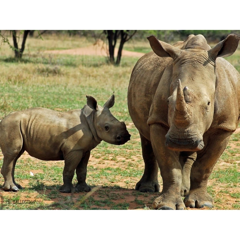 2 Stuks Tuinschilderij Africa Wild Rhino 50x70cm