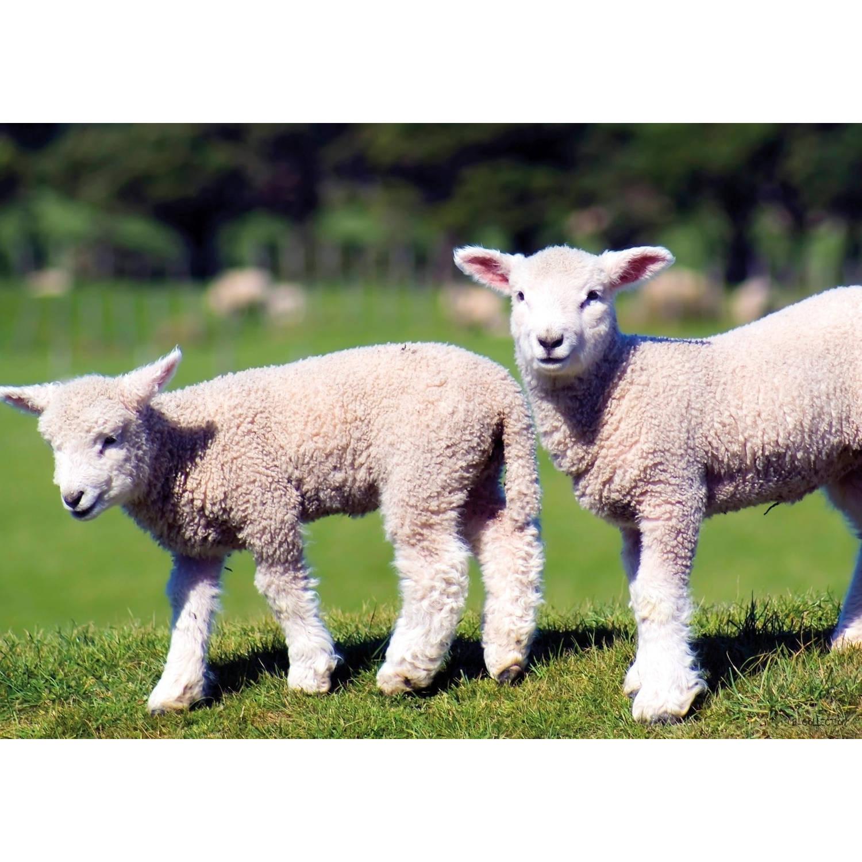 2 Stuks Tuinschilderij Lambs 50x70cm