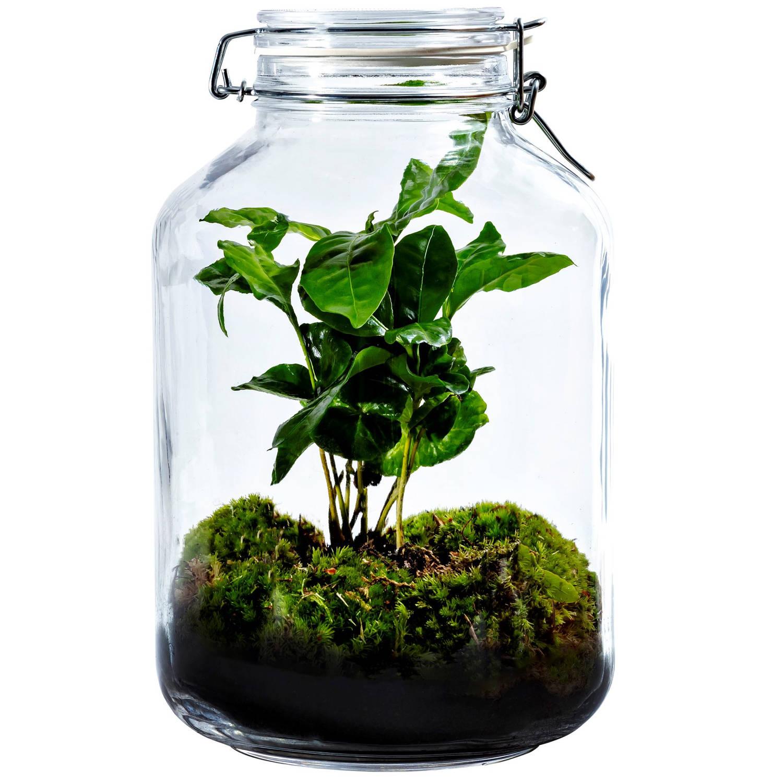 Growing Concepts DIY Duurzaam Ecosysteem Weckpot 5L - Coffea Arabica - H28xØ18cm