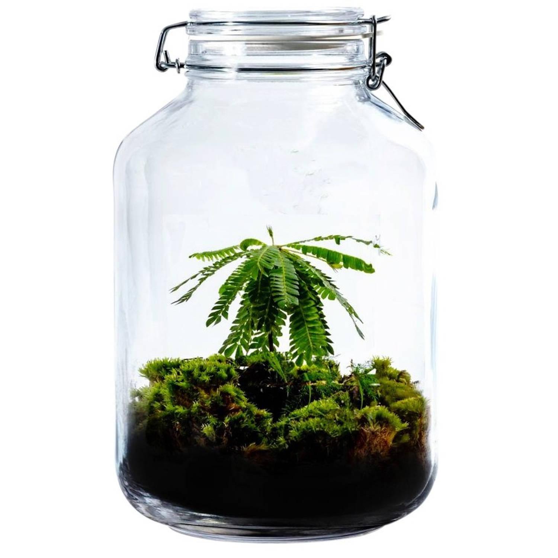Growing Concepts DIY Duurzaam Ecosysteem Weckpot 5L - Biophytum Sensitivum - H28xØ18cm